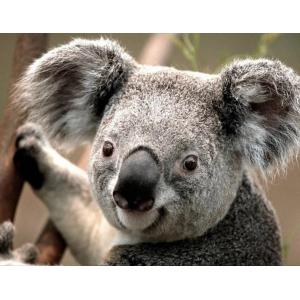 Mona Lisa diamond painting 50x40cm: koala